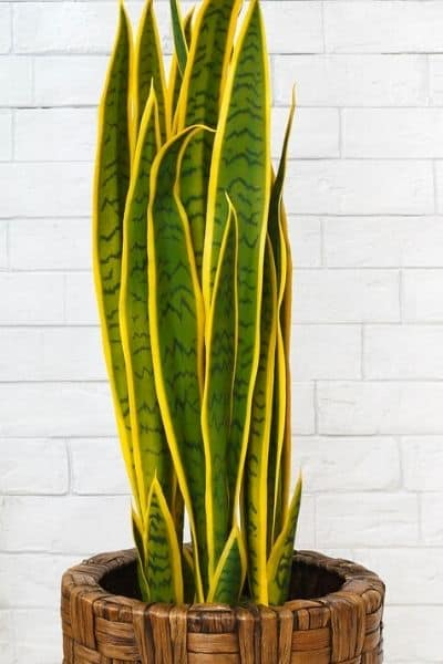 snake plant in a brown pot