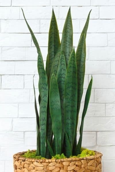 watering a sansevieria plant