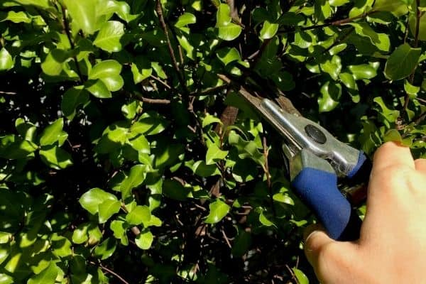 How To Propagate Pittosporum Cuttings