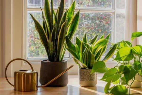 watering snake plants