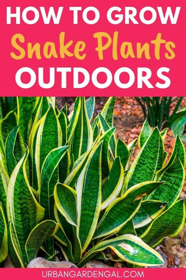 growing snake plants outdoors