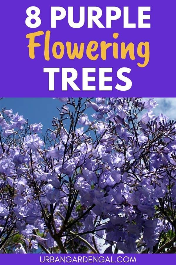 trees with purple flowers