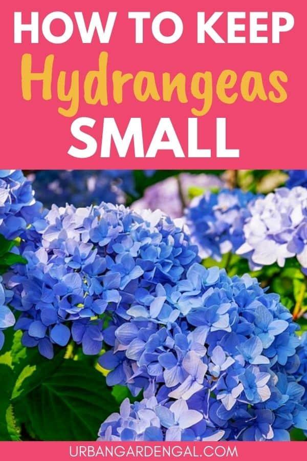 small hydrangea varieties