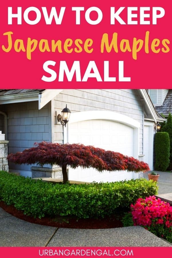 keeping japanese maple trees small