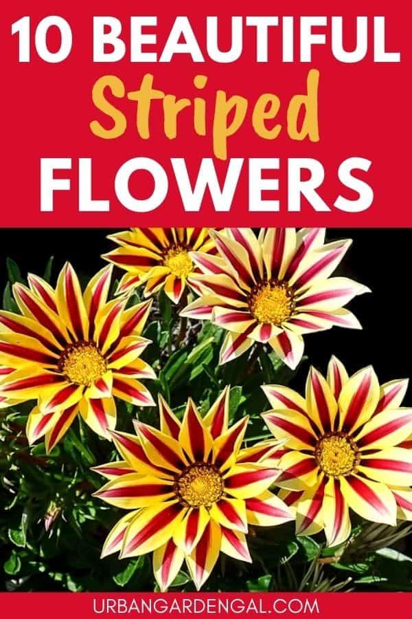 striped flowers