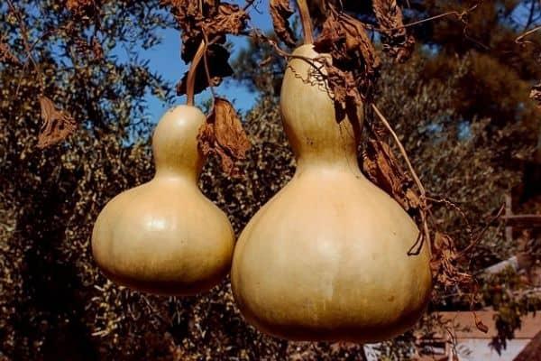 harvesting gourds