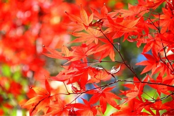 small red japanese maple
