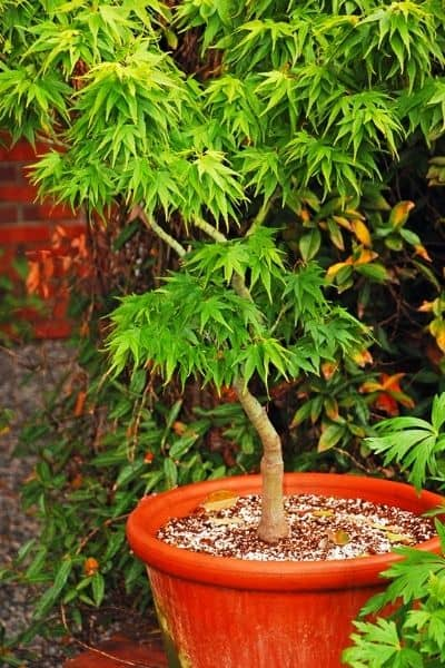japanese maple tree in a container