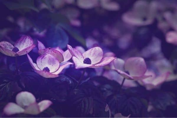 purple dogwood tree