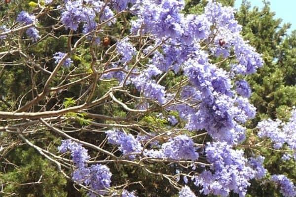 purple jacaranda tree