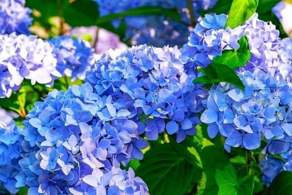 small blue hydrangea shrub