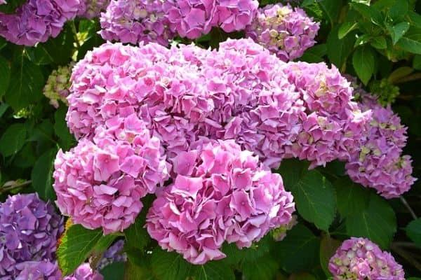 Best Hydrangeas For Small Gardens