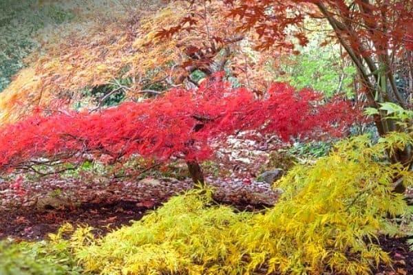 dwarf japanese maple trees