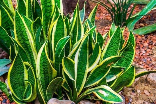 How To Grow Snake Plants (Sansevierias) Outdoors