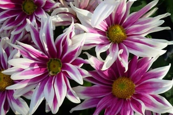 striped aster flowers