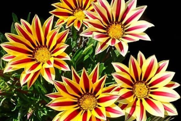 striped flower petals