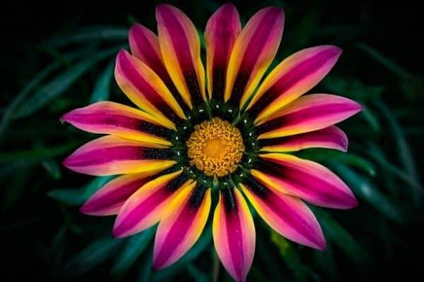 striped gazania flower