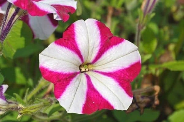 striped petunia flower