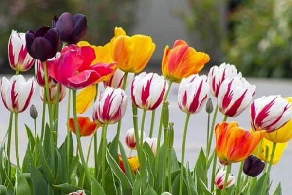 striped tulip flowers
