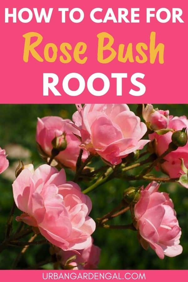 rose root system