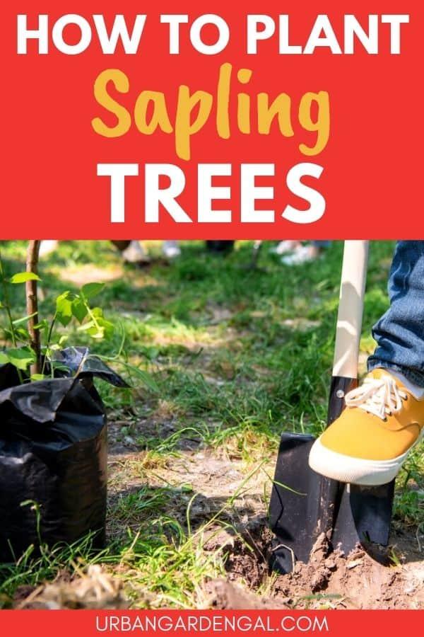 growing a tree sapling