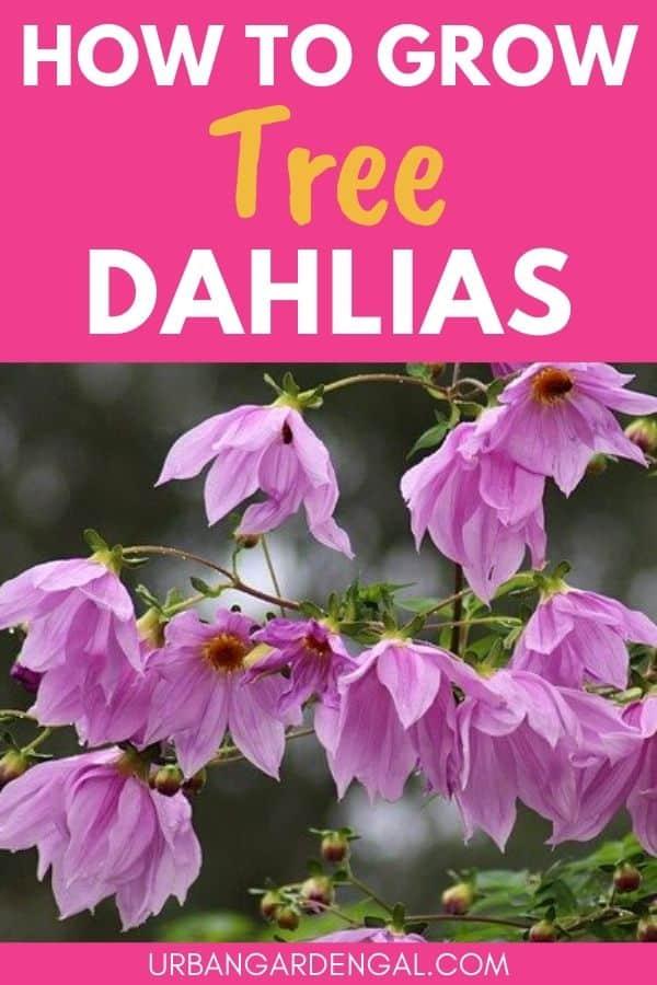 growing tree dahlia plants
