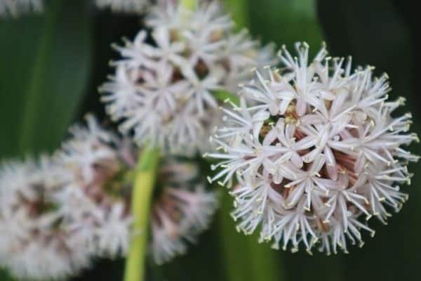corn plant flowers