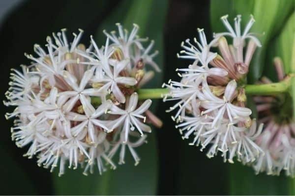 dracaena flowers
