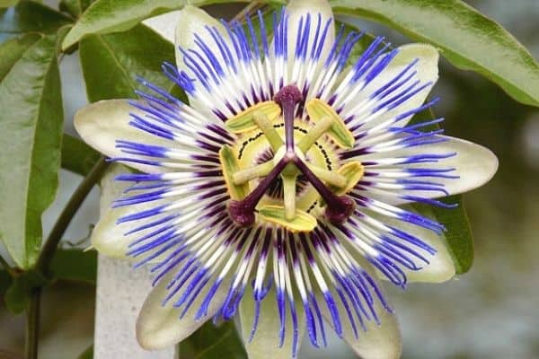 Read more about the article How To Dry Passion Flowers