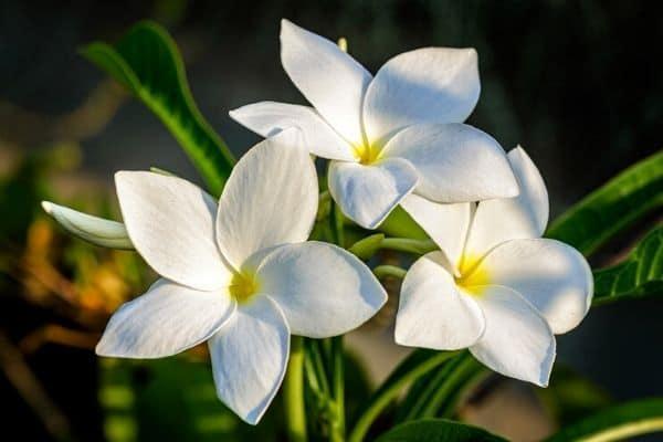 plumeria pudica flowers