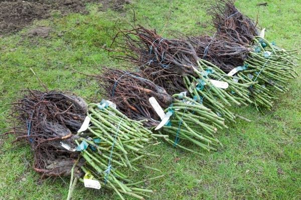 rose bush roots