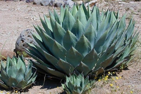agave pups