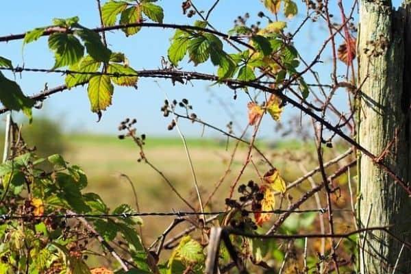 brambles on a fence