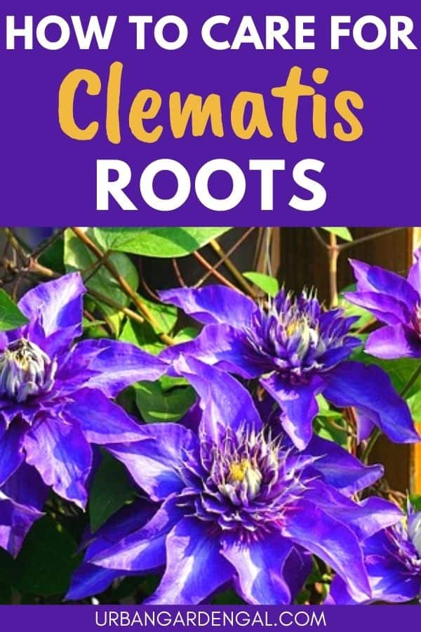 clematis root system