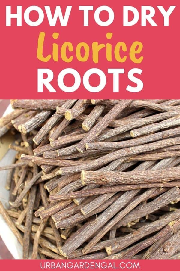 drying licorice roots