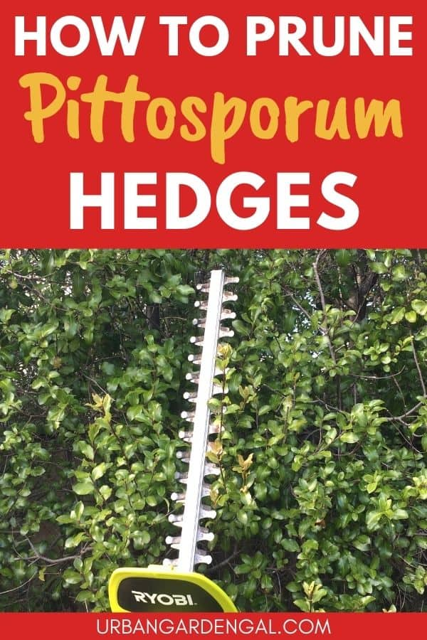 pruning pittosporum hedge