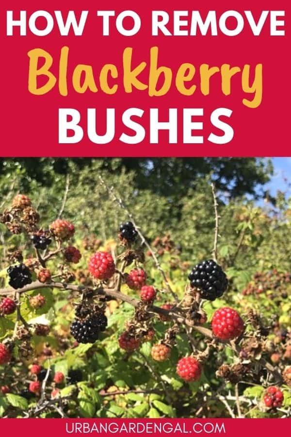 removing blackberry bushes