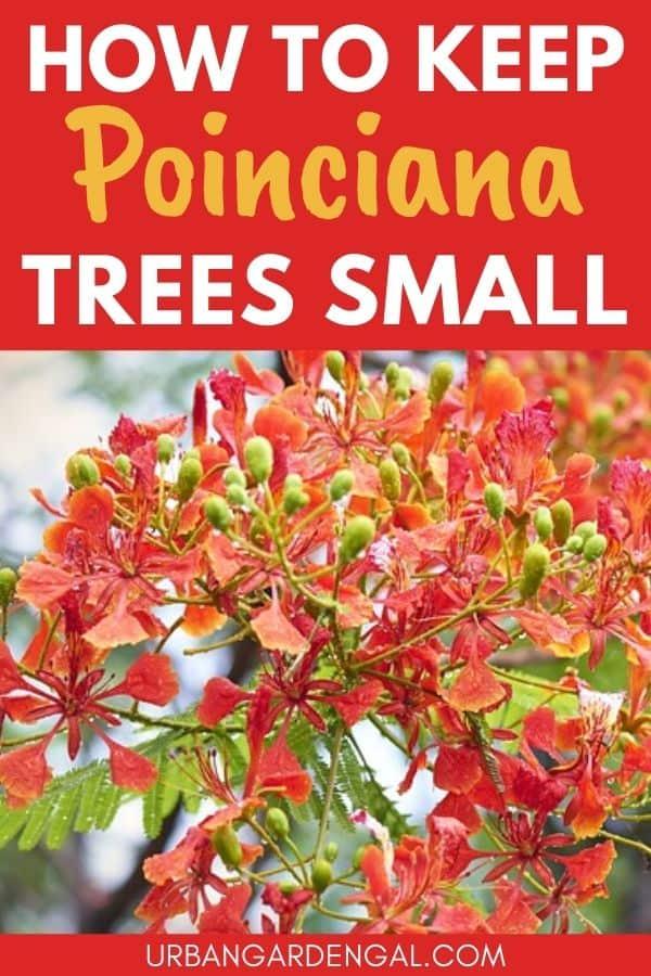 keeping poinciana trees small