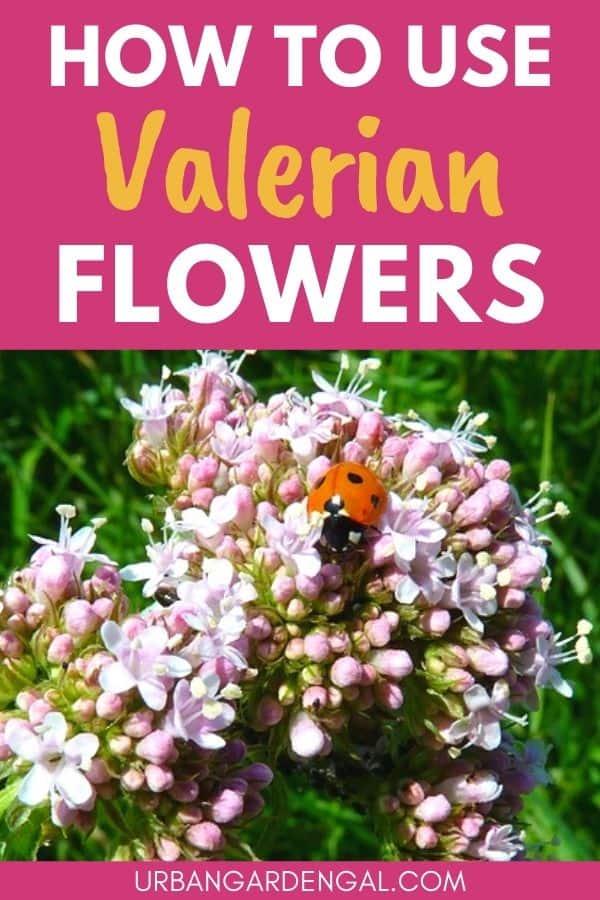 valerian blooms