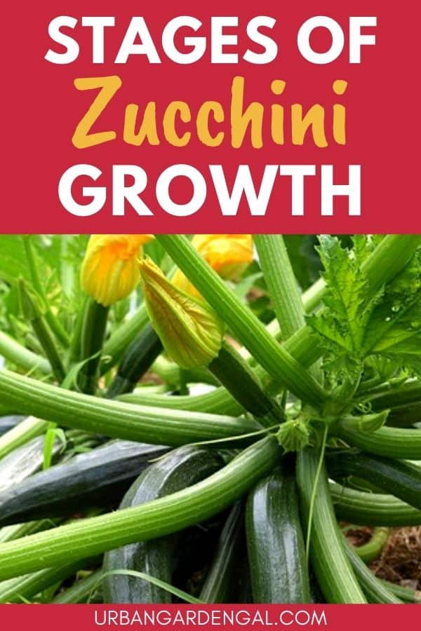 zucchini growth stages