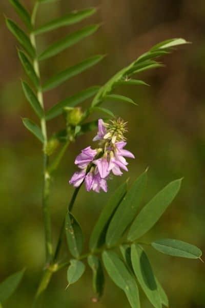 licorice plant flowering