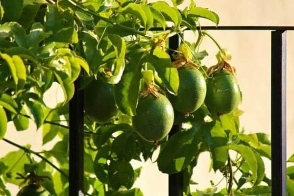 passion fruit vine on a trellis
