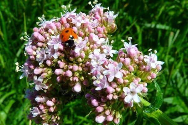 pink valerian flower