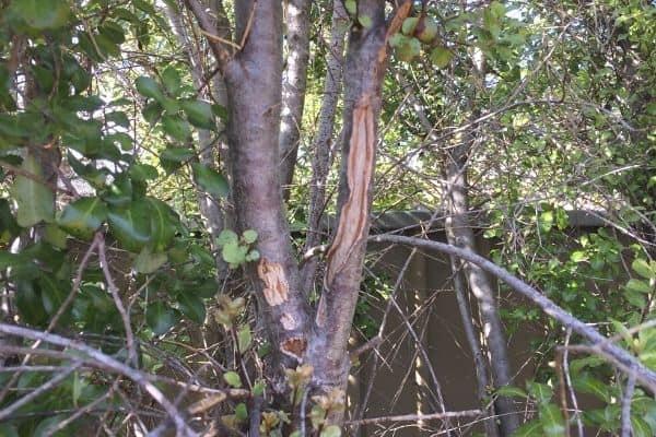 pittosporum plant