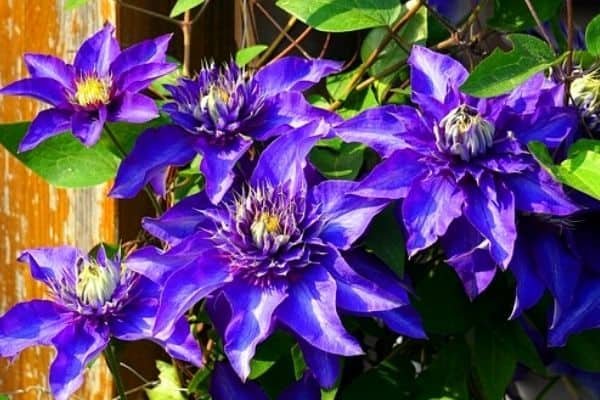 Read more about the article Transplanting & Caring For Clematis Roots