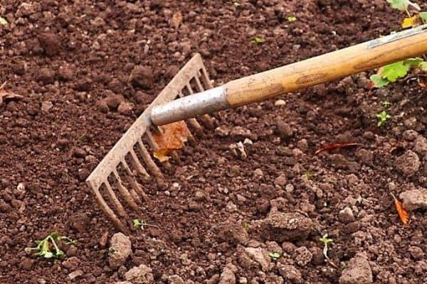 raking manure into soil