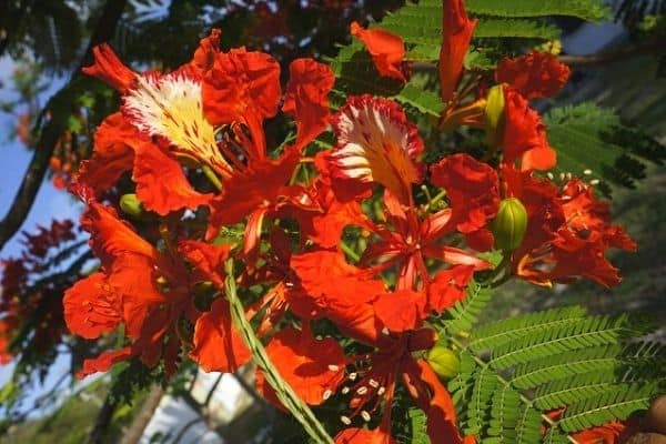 red poinciana flowers