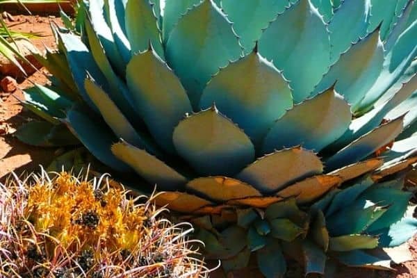 removing agave plants