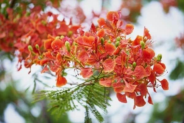 dwarf poinciana tree