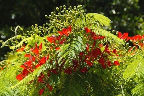 small red poinciana